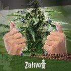 Wie Du Die Gesundheit Deiner Cannabispflanze Überprüfen Kannst