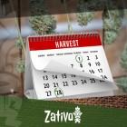 Wie Man 6-7 Mal Im Jahr Cannabis Erntet