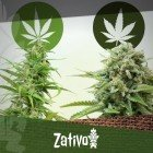 Der Unterschied Zwischen Cannabis Indica Und Sativa
