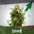 11 Tipps Zur Steigerung Deiner Cannabiserträge