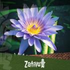 Der Blaue Lotus (Nymphaea caerulea)