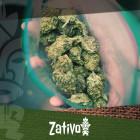 Wie Du mit Hilfe einer männlichen Cannabispflanze hervorragendes Gras produzierst