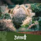 Wie man hoch- und minderwertige Cannabissamen unterscheidet