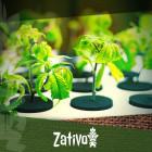 Ist Es Möglich, Bio- Cannabis In Hydrokultur Anzubauen?