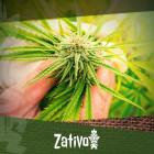 Cannabissamen vs. Klone: Welche Alternative Ist Die Bessere?