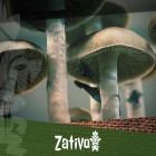 Wie man Magic Mushrooms oder Zaubertrüffel nutzt
