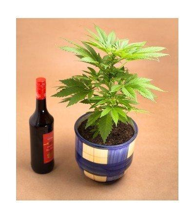 neue studie alkohol vor cannabiskonsum erh ht die thc konzentration im blut zativo. Black Bedroom Furniture Sets. Home Design Ideas