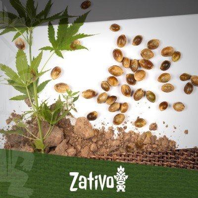 7 Vorteile Von Cannabissamen Gegenüber Klonen