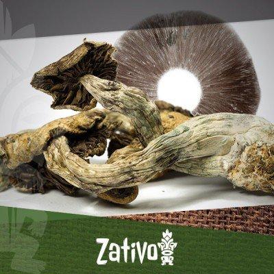 Wie Man Seinen Eigenen Magic Mushrooms Sporenabdruck Macht