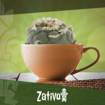 Wie man Tee aus Meskalin-Kakteen herstellt