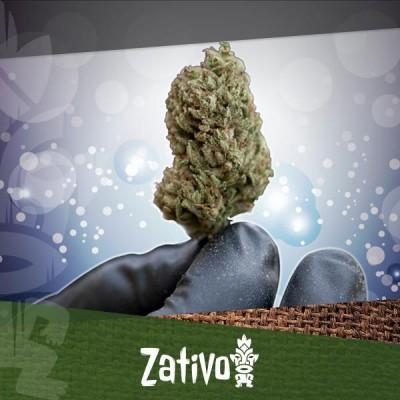 Die besten Techniken, Cannabis zu trocknen und auszuhärten