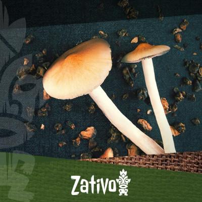Die Mikrodosierung von Zauberpilzen und Trüffeln
