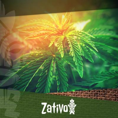 Lerne Die 5 Besten THC-Armen Cannabissorten Kennen